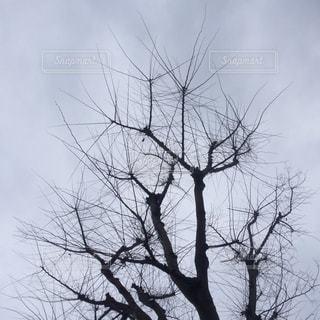 枯れ木 1の写真・画像素材[640566]