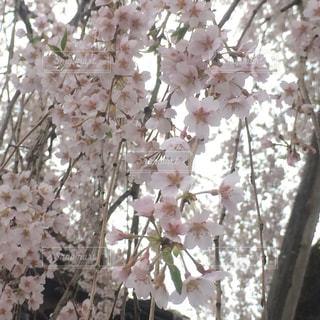 しだれ桜の写真・画像素材[644192]