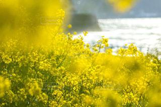 キラキラ輝く菜の花と海の写真・画像素材[1849923]