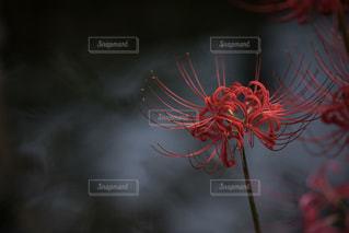 静かに咲く姿に魅せられての写真・画像素材[2448757]