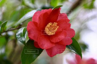 椿の花の写真・画像素材[1011614]