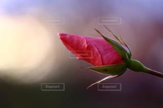夕暮れの空にバラの写真・画像素材[1011617]