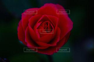 赤い椿の写真・画像素材[1011811]