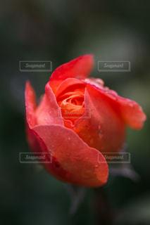 薔薇の花の写真・画像素材[1012059]