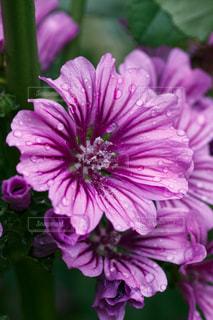 紫の花の写真・画像素材[1012060]