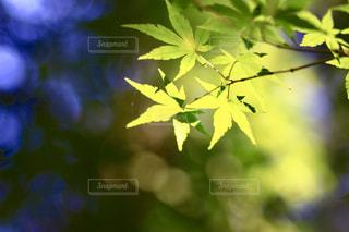 美しい楓の写真・画像素材[1012067]