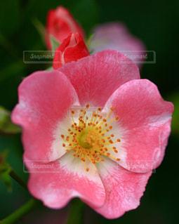 ピンクの可愛い薔薇の花の写真・画像素材[1012090]