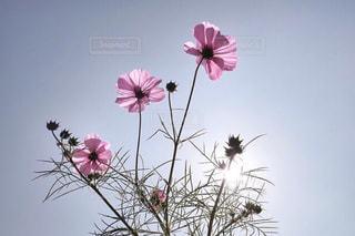 ピンクの花で一杯の花瓶 - No.745351