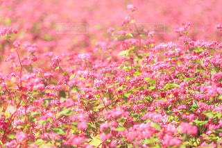 赤そばの花 - No.801413