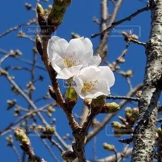 桜の開花の写真・画像素材[4272771]