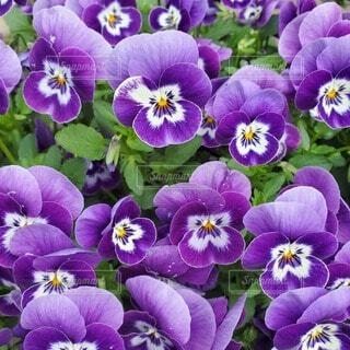 紫の花の写真・画像素材[4293021]