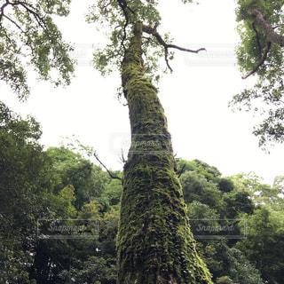 森の大きな木の写真・画像素材[769987]