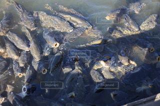 鯉の大群の写真・画像素材[857165]