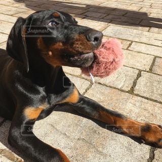 犬の写真・画像素材[642731]