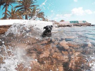 水に飛び込む犬の写真・画像素材[970673]