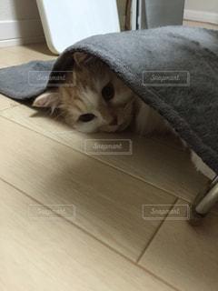 猫の写真・画像素材[642839]