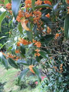 近くに果物の木のアップの写真・画像素材[768566]