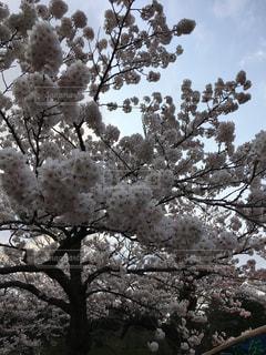 桜の写真・画像素材[645108]