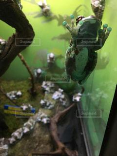 カエルの写真・画像素材[644861]