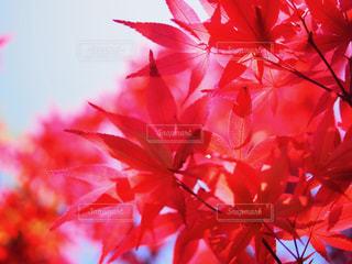 木の赤い花の写真・画像素材[1384073]