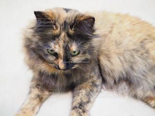 ペルシャっぽい猫の写真・画像素材[800276]