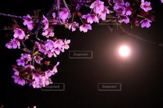 夜桜と月の写真・画像素材[1171125]