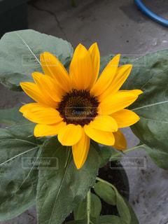 花の写真・画像素材[653249]