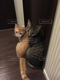 カメラを見ている猫の写真・画像素材[2692990]