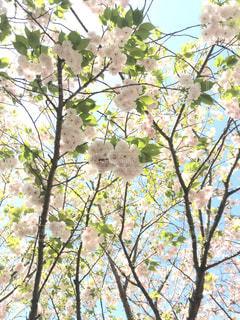 八重の桜の写真・画像素材[1117569]