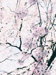 ソメイヨシノの写真・画像素材[1117585]