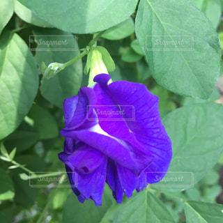 バダフライピーの花の写真・画像素材[647247]