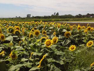 ひまわり畑 黄色の花の写真・画像素材[725622]