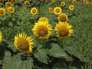 ひまわり畑の写真・画像素材[725623]
