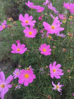 野に咲くピンクのコスモス - No.748240