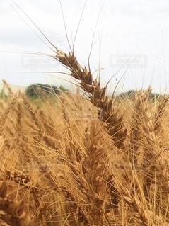 黄金色の麦畑 - No.822043