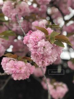 八重桜のアップの写真・画像素材[1130928]