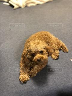 茶色の小さな犬が地面に横たわっての写真・画像素材[1130945]