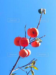 柿の写真・画像素材[1601063]