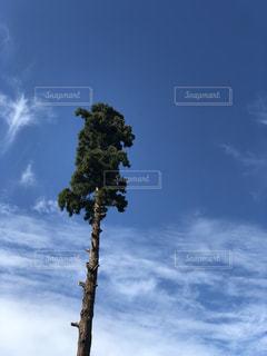 すごく大きな杉の木の写真・画像素材[1601081]