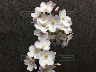 桜の写真・画像素材[2435858]