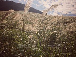 仙石原のすすきの写真・画像素材[750214]