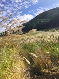 黄金色に光るすすき野原の写真・画像素材[753360]