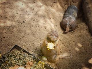食事中とお遊び中のプレーリードッグの写真・画像素材[853032]