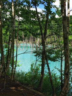 美瑛にある青い池 - No.910617