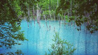 美瑛の青い池の写真・画像素材[910619]