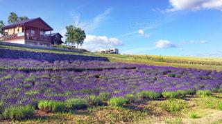 小屋とラベンダー畑の写真・画像素材[912551]