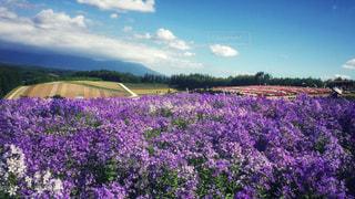 紫色に広がる花畑の写真・画像素材[913478]