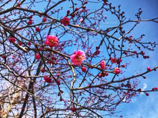木の枝にピンク色の花のグループ - No.1011074