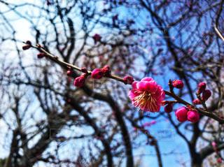 梅の花 - No.1011075