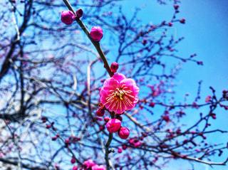 咲き始める梅の花 - No.1011076